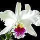 Набор лепестков для создания 50 орхидей каттлея My Thai Материалы для флористики из Таиланда
