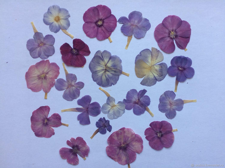 Сушеные цветы - флоксы, Природные материалы, Москва,  Фото №1