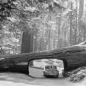 Винтаж handmade. Livemaster - original item Photo 1957 Sequoia national Park reprint. Handmade.