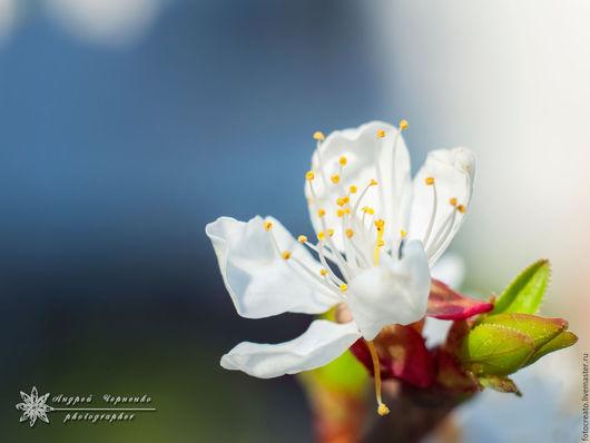 """Фотокартины ручной работы. Ярмарка Мастеров - ручная работа. Купить """"Весны чистые помыслы"""". Handmade. Синий, вишневый цвет, гармония"""