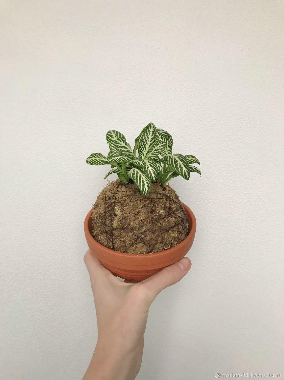 Кокедама Фиттония, растение в шаре, Растения, Москва, Фото №1
