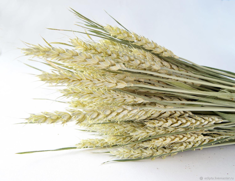 Пшеница зеленая колоски злаки 20 шт для флористики, декора, творчества – купить на Ярмарке Мастеров – M7ZJ4RU | Сухоцветы, Железногорск