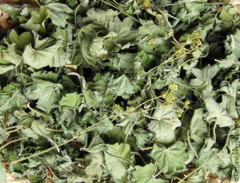 Манжетка желто-зеленая (другие названия: манжетка лекарственная, манжетка обыкновенная, альхемилля, алхимия, грудная трава, бухарка лесная, росяная трава, трава приворот, приворот-трава, заячья шубка,