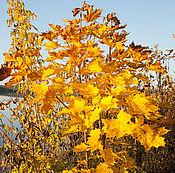 Дизайн и реклама ручной работы. Ярмарка Мастеров - ручная работа Золото осени или Осенний клён. Handmade.
