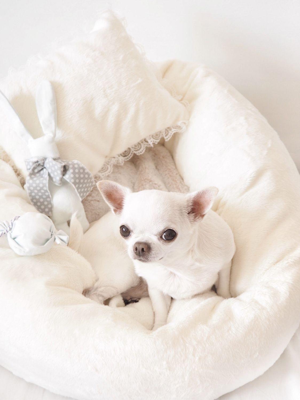 Аксессуары для собак, ручной работы. Ярмарка Мастеров - ручная работа. Купить Сладкие сны. Handmade. Кремовый, чихуахуа, для чихуа