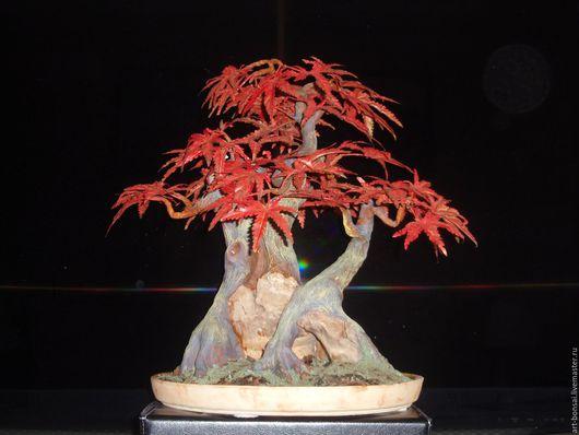 Бонсай ручной работы. Ярмарка Мастеров - ручная работа. Купить Бонсай Японский клен в стиле Kabu-dachi («Куст»). Handmade.