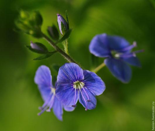 """Фотокартины ручной работы. Ярмарка Мастеров - ручная работа. Купить Фотокартина """" Вероника"""". Handmade. Синий, цветы, вероника, макро"""