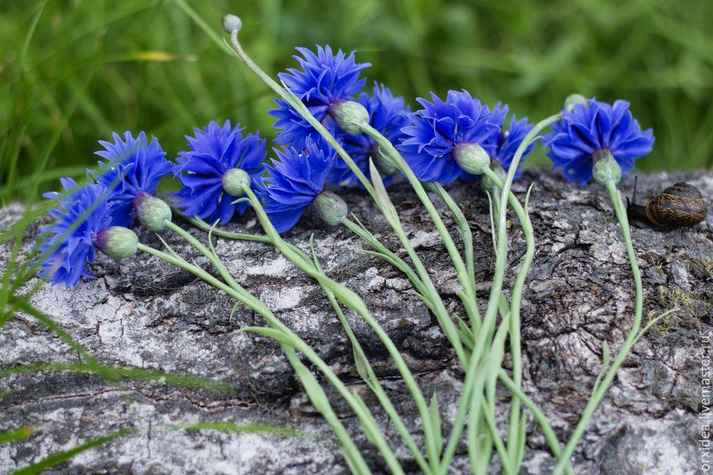 Полевой василек цветок