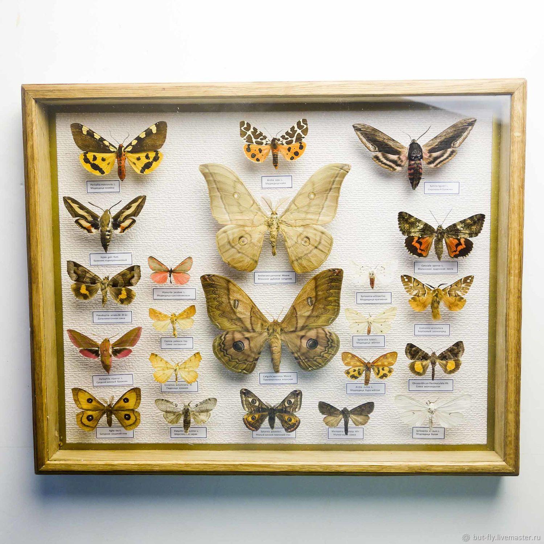 Коллекция ночных бабочек России, Картины, Москва,  Фото №1