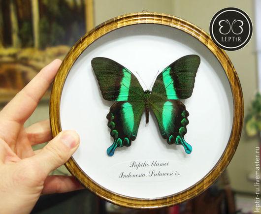 Дизайн интерьеров ручной работы. Ярмарка Мастеров - ручная работа. Купить Настоящая бабочка в круглой рамке - Парусник Блюме. Handmade.