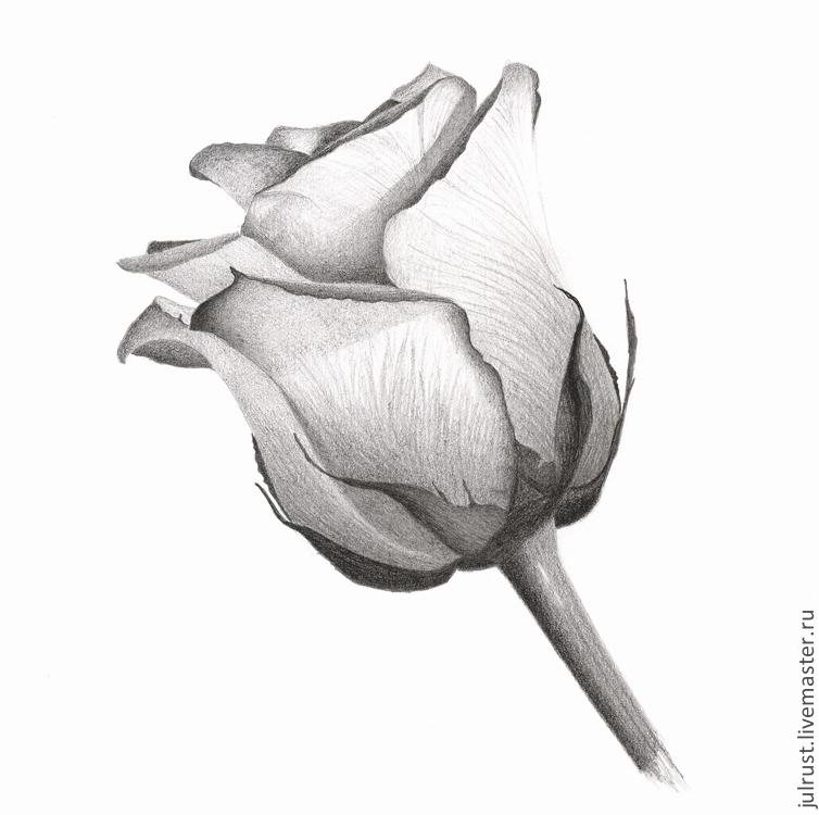 Фото роза рисунок