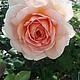 Нежной розы очарованье (вариант № 5)