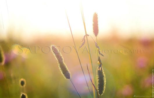 Алина Сапогова. Авторская фотокартина `трава Лисий хвост`. Картина  в спальню,  Пейзаж , летнее поле. Фотокартина природа.Эксклюзивная художественная фотография.
