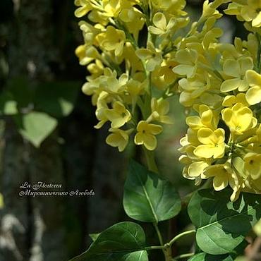 Цветы и флористика ручной работы. Ярмарка Мастеров - ручная работа Желтая сирень. Handmade.