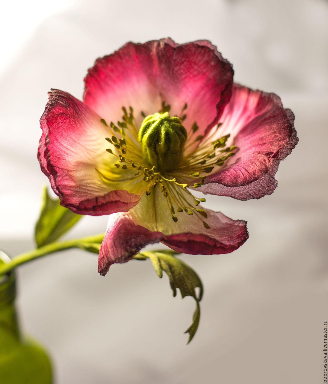 Шелковый мак, Цветы, Петергоф, Фото №1