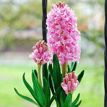 Flowers and floristry handmade. Livemaster - original item Pink hyacinth.. Handmade.