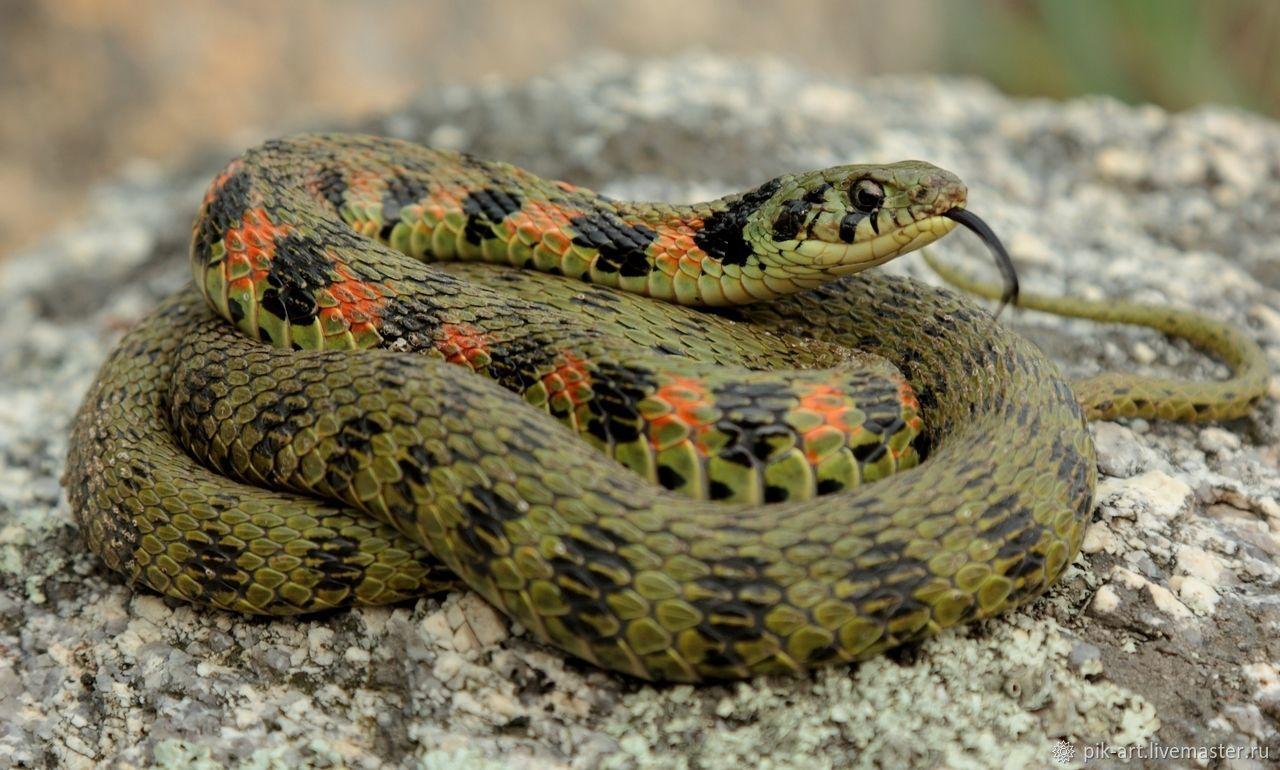 названия змей с фотографиями плетнева попробует