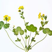 Материалы для творчества handmade. Livemaster - original item Set of dried flowers for creativity(7pcs).Flat Drying. Handmade.
