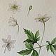 Картины цветов ручной работы. Ярмарка Мастеров - ручная работа. Купить Ботаническая иллюстрация Ветреница. Handmade. Разноцветный, акварель, акварель