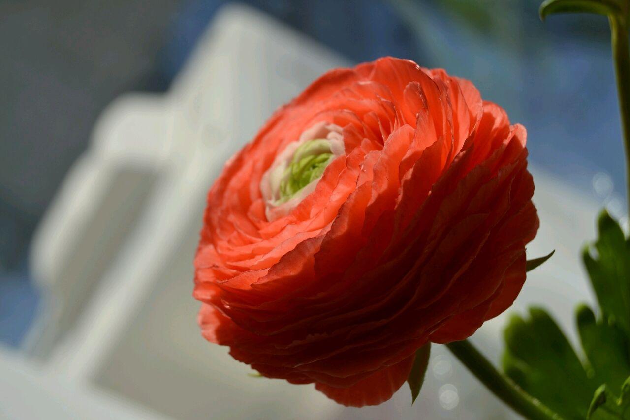 Ранункулюс из холодного фарфора, Цветы, Гай,  Фото №1
