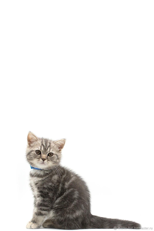 """Изолированные фотографии котенка """"Британца"""" 20 фото, Фотографии, Тамбов,  Фото №1"""