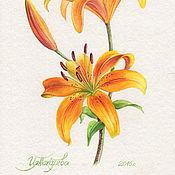 Цветы акварелью. Жёлтая лилия. Ботаническая иллюстрация.
