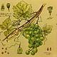 Виноград зеленый-92 Декупажная радость