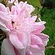 """Цветы ручной работы. Роза """"Pink Paradise"""" из шелка. Цветы из шелка. Оксана Чистова (Flower Festival). Интернет-магазин Ярмарка Мастеров."""