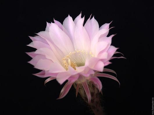 Фото-работы ручной работы. Ярмарка Мастеров - ручная работа. Купить Фотография Цветок кактуса на черном фоне. Handmade.