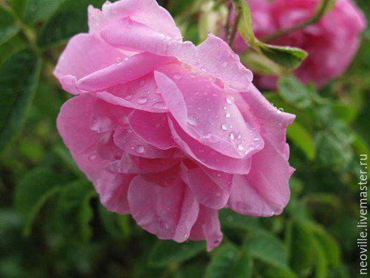 Материалы для косметики ручной работы. Ярмарка Мастеров - ручная работа. Купить Пудра дамасской розы Rose de Damas аюрведический порошок 50гр. Handmade.