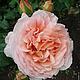 Нежной розы очарованье (вариант № 1)