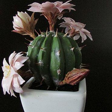 Цветы и флористика ручной работы. Ярмарка Мастеров - ручная работа Цветущий кактус. Handmade.