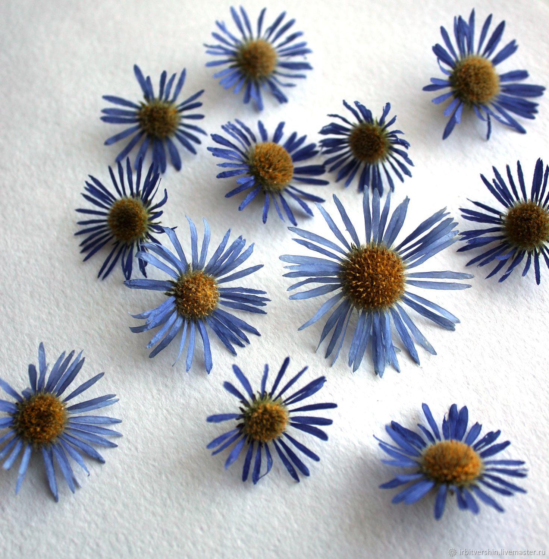астра альпийская сухоцвет объёмный цветы головки 12 штук, Цветы, Лениногорск,  Фото №1