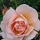 Нежной розы очарованье (вариант № 3)