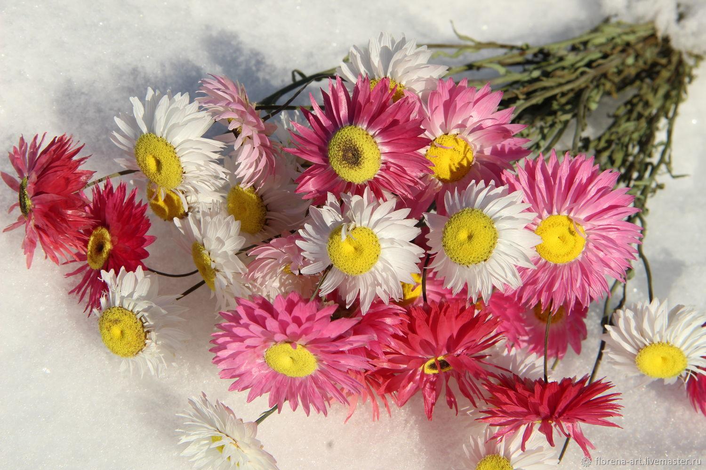 акроклинум фото цветов
