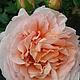 Нежной розы очарованье (вариант № 2)