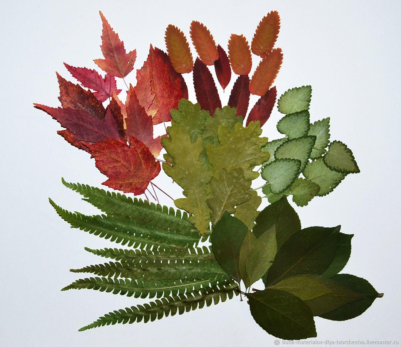 Большой набор засушенных листьев(60шт) – купить на Ярмарке Мастеров – MM694RU   Материалы для флористики, Барнаул