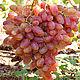 Это виноград сорта киш-миш `Лучистый`